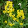 Goldrute (solidago virgaurea)
